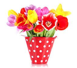 Картинки Тюльпан Белый фон Ведро Разноцветные Цветы
