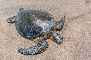 Фото Черепахи Крупным планом Песок Животные