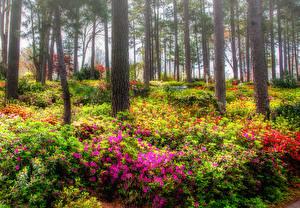 Фото США Парки Рододендрон Деревья Кусты Azalea Garden Raleigh Природа