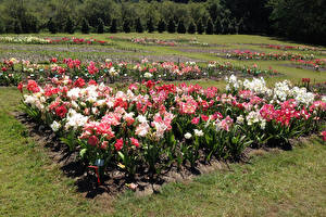 Картинки Австралия Парк Амариллис Woombye Queensland Природа Цветы