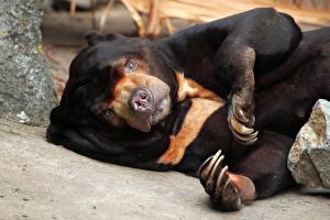 Картинки Медведи Смотрит Когти Malayan bear Животные