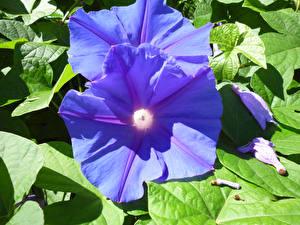 Фотографии Вьюнки Вблизи Голубой Цветы