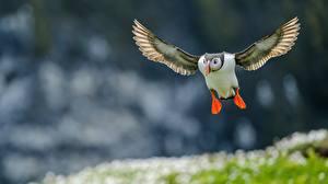 Фотография Птицы Тупики Полет Atlantic Животные
