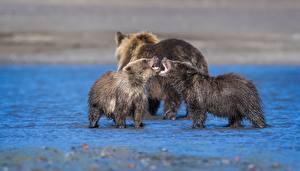 Обои Медведи Гризли Детеныши Втроем Злость