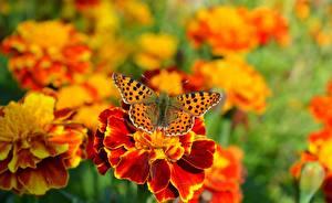 Картинка Бабочки Бархатцы Животные