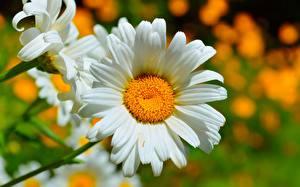 Обои Ромашки Крупным планом Цветы