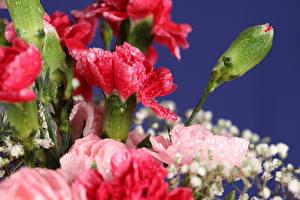 Фотография Гвоздики Крупным планом Бутон Цветы