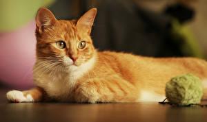 Фотография Кошки Рыжий Взгляд Животные