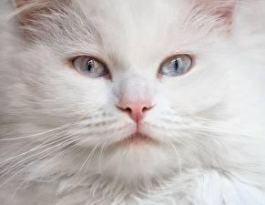 Картинка Коты Смотрит Белый Морда Животные