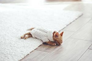 Фотографии Коты Котята Свитер Спящий Животные