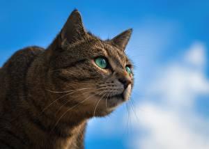 Картинки Коты Морда Взгляд Животные
