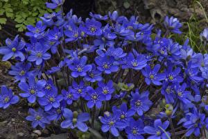 Фотографии Крупным планом Синий Hepatica Цветы
