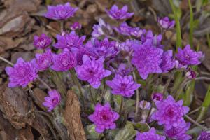 Картинка Вблизи Розовый Hepatica Цветы