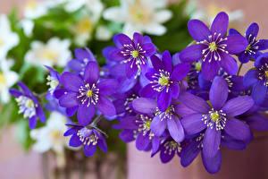 Фото Вблизи Фиолетовый Hepatica Цветы