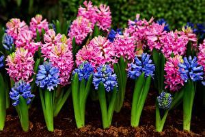 Картинка Вблизи Гиацинты Цветы
