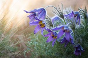 Фотографии Крупным планом Прострел цветок
