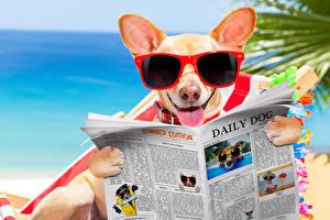 Обои Собаки Чихуахуа Очки Газета Язык (анатомия) Забавные Животные