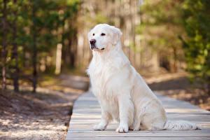 Картинка Собаки Голден Смотрит Животные