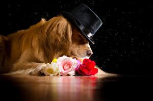 Фото Собаки Голден Розы Шляпа Животные