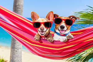 Обои Собака Гамак 2 Чихуахуа Джек-рассел-терьер Очков Язык (анатомия) Смешная Животные