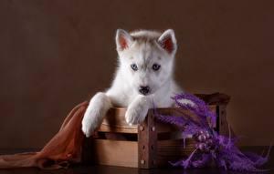 Фото Собака Хаски Щенок Смотрит Лап Животные