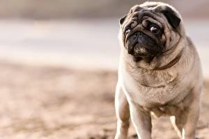 Картинки Собаки Мопс Смотрит Животные