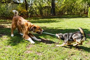 Картинки Собака Двое Траве животное