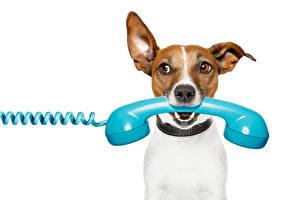 Фото Собаки Белый фон Джек-рассел-терьер Телефон Смотрит Животные