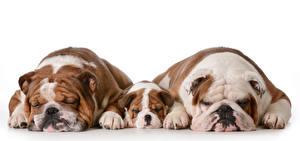 Обои Собаки Белый фон Втроем Щенок Бульдог