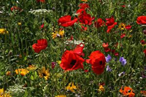 Обои Поля Маки Крупным планом Цветы