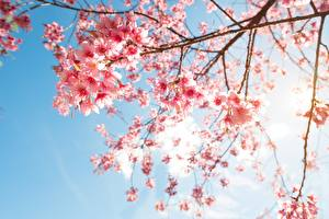 Картинки Цветущие деревья Ветвь Сакура Природа