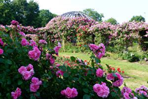 Картинки Германия Сады Розы Кустов Розовый Darmstadt Park Rosenhoehe Природа