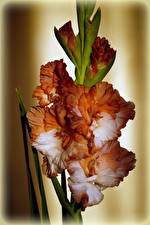 Фото Гладиолусы Вблизи Цветы