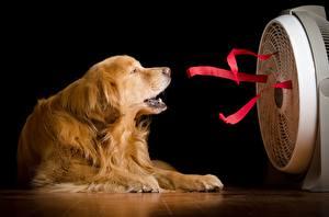 Фотография Голден Собаки