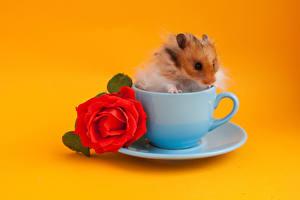 Обои Хомяки Розы Цветной фон Чашка Красный Животные Цветы