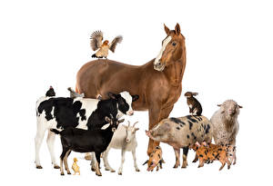 Картинка Лошади Корова Коза козел Домашняя свинья Овцы Попугаи Кролики Курица Белый фон