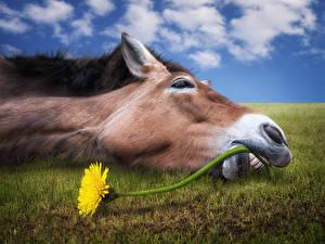 Картинка Лошади Одуванчики Морда Трава