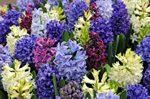Фотография Гиацинты Крупным планом Разноцветные Цветы