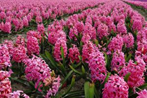 Картинки Гиацинты Поля Много Розовый Цветы