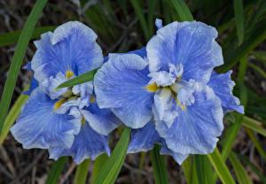 Картинка Ирисы Крупным планом Голубой Двое Цветы