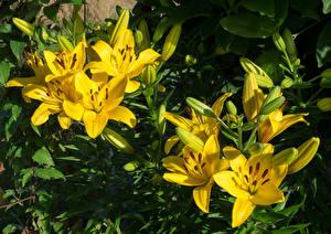 Фото Лилия Вблизи Бутон Желтый цветок