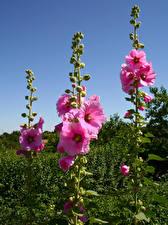 Фотографии Мальва Розовый Бутон Цветы