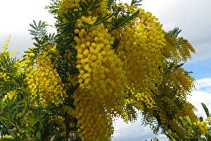 Картинка Мимозы Крупным планом Ветвь Желтый Цветы