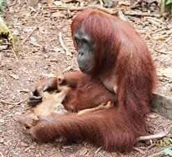 Фото Обезьяны Детеныши Двое Orangutan Животные