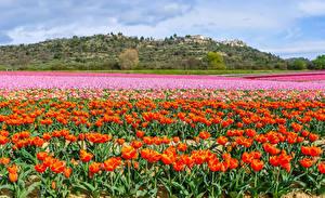 Картинки Нидерланды Поля Тюльпан Много Keukenhof Природа