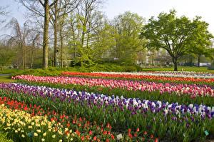 Фотографии Нидерланды Парки Тюльпаны Нарциссы Гиацинты Keukenhof Lisse Природа