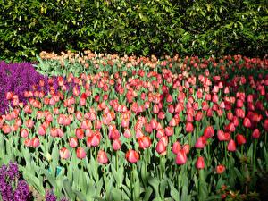 Обои Нидерланды Парки Тюльпаны Гиацинты Много Keukenhof Цветы