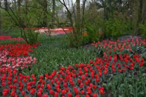 Картинка Нидерланды Парки Тюльпаны Keukenhof Природа