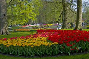 Картинки Нидерланды Парки Тюльпаны Деревья Дизайн Keukenhof Lisse Природа