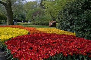 Фотография Парки Тюльпаны Много Нидерланды Дизайн Keukenhof Lisse Природа